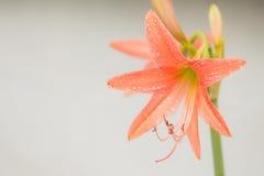 属石蒜科美丽的花Hippeastrum 免版税库存照片