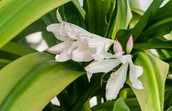 属石蒜科crinum moorei勾子 f 三与花的桃红色淡色调的进展的大白色 免版税库存照片