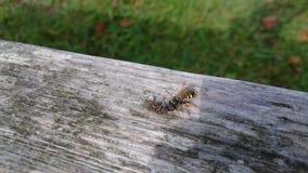 屠杀飞行的掠食性黄蜂 免版税库存照片