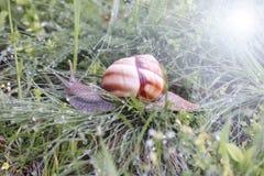 履带牵引装置爬行物草螺旋pomatia雨蜗牛 库存照片