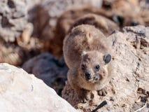 山兔子- daman -在岩石之间坐早晨 免版税图库摄影
