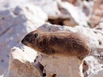 山兔子- daman -在岩石之间坐早晨 免版税库存照片