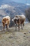 山公牛夫妇  图库摄影