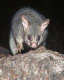 山刷子被盯梢的负鼠 免版税库存图片