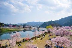 山口,日本- 2011年4月09日:樱花在有Kintai-kyo桥梁的岩国市在背景中 免版税图库摄影
