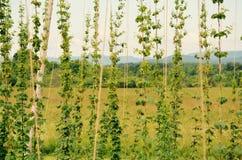 山和啤酒蛇麻草在佛蒙特 免版税库存图片