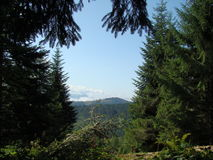 山和杉木森林 免版税图库摄影