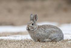 山在草的与死的草的棉尾巴兔子和雪  库存图片