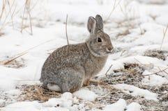 山在雪的棉尾巴兔子与作为草料的死的草 免版税库存照片