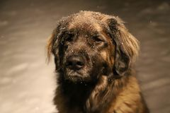 山在雪的狗秀丽 库存照片