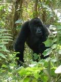 山地大猩猩在乌干达在非洲 免版税库存照片