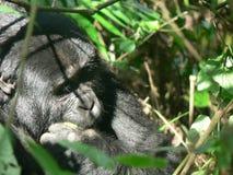 山地大猩猩在森林里在乌干达 库存图片