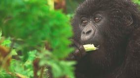 山地大猩猩面孔特写镜头哺养在森林里的,正面图 股票录像