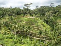 山坡在巴厘岛的稻米 免版税库存照片