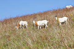 山坡有角的羚羊属短弯刀 免版税库存图片