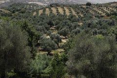 山坡的橄榄树种植园 图库摄影