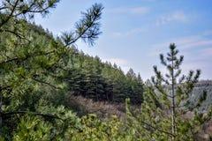山坡的看法与杉木森林的反对与云彩的天空蔚蓝 库存照片