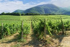 山坡背景的葡萄园在Abrau杜尔索附近,新罗西斯克村庄的  免版税库存图片