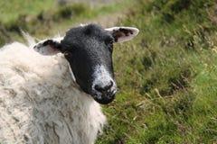 山坡绵羊 库存图片