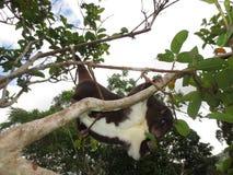 山垂悬由它的尾巴的Cuscus 免版税图库摄影