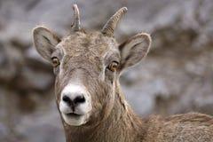 山岩石绵羊 免版税图库摄影