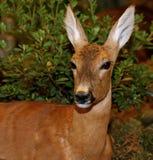 山年轻獐鹿与长的耳朵的 免版税库存图片