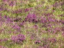 山开花的草甸:紫红色的花和高草 库存图片