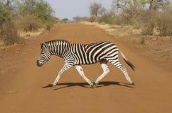 山斑马在南非 免版税库存图片