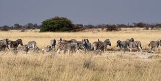山斑马,马属斑马在埃托沙国家公园,纳米比亚 免版税库存图片