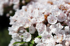 山月桂树或白棉布灌木或者spoonwood 库存照片