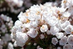 山月桂树或白棉布灌木或者spoonwood 免版税库存图片