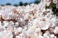 山月桂树或白棉布灌木或者spoonwood 图库摄影