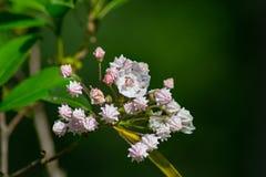 山月桂花和芽群 库存照片