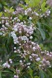 山月桂(美国石南科latifolia) 免版税图库摄影