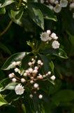 山月桂(美国石南科latifolia) 免版税库存照片