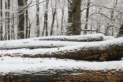 山有砍的树的山毛榉森林在冬天季节期间 库存图片