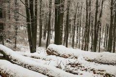 山有砍的树的山毛榉森林在冬天季节期间 免版税图库摄影