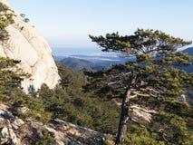 山松树和大岩石在背景 库存图片