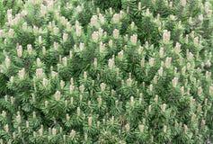 山松结构树 免版税库存照片