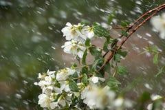 山梅花分支在雨中 免版税库存图片