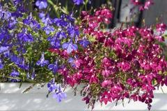 山梗菜红色花在夏天庭院是五颜六色的,背景 免版税库存图片