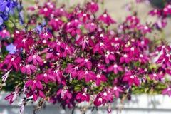 山梗菜红色花在夏天庭院是五颜六色的,背景 库存照片