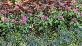 山梗菜erinus、pentas lanceolata和alcalypha wikesiana在花床上,达拉斯树木园 免版税库存照片