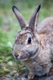 山棉尾巴兔子在亚伯大,加拿大 库存照片