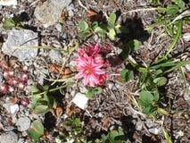 山植物群在法国阿尔卑斯 免版税库存照片