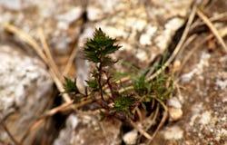 山植物 免版税图库摄影