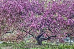 山楂子树-罗盘星座'紫色王子' [ 库存照片