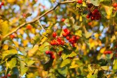 山楂属laevigata、内地或者英国山楂树或者mayflower成熟莓果秋天 库存照片