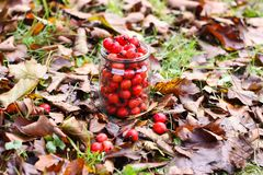 山楂属laevigata、内地或者英国山楂树或者mayflower成熟莓果秋天 免版税图库摄影