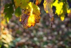 山楂属laevigata、内地或者英国山楂树或者mayflower成熟莓果秋天 免版税库存照片